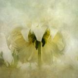dahlia-white2